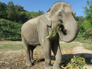 Elefantbajs blir papper