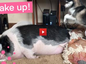 Hund försöker väcka gris