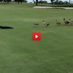 gäss jagar alligator