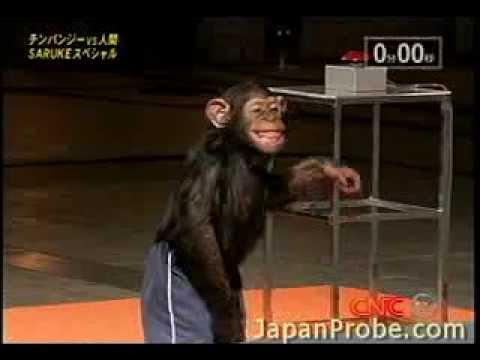 Schimpans tävlar i Ninja Warrior